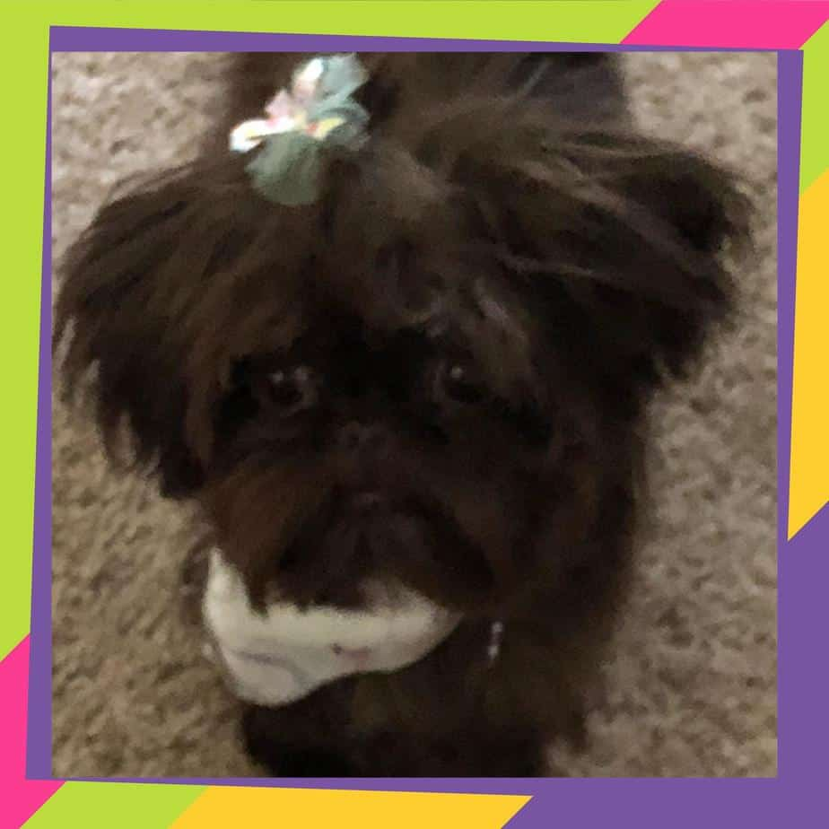 Shih Tzu Dog Breeders Websites Puppysitescom