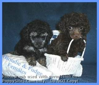 Poodle Toy Dog Breeders Websites Puppysitescom