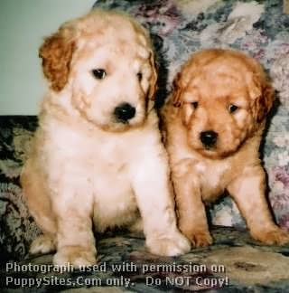 Goldendoodles Dog Breeders Websites Puppysitescom