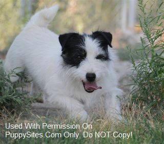 Colorado Jack Russell Terriers