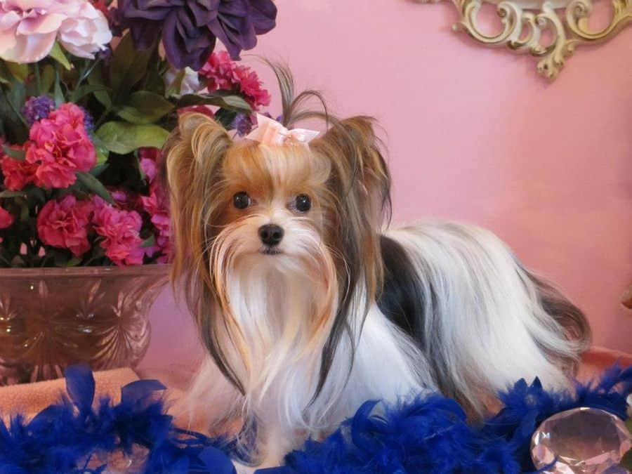 Yorkshire Terrier Dog Breeders Websites Puppysitescom