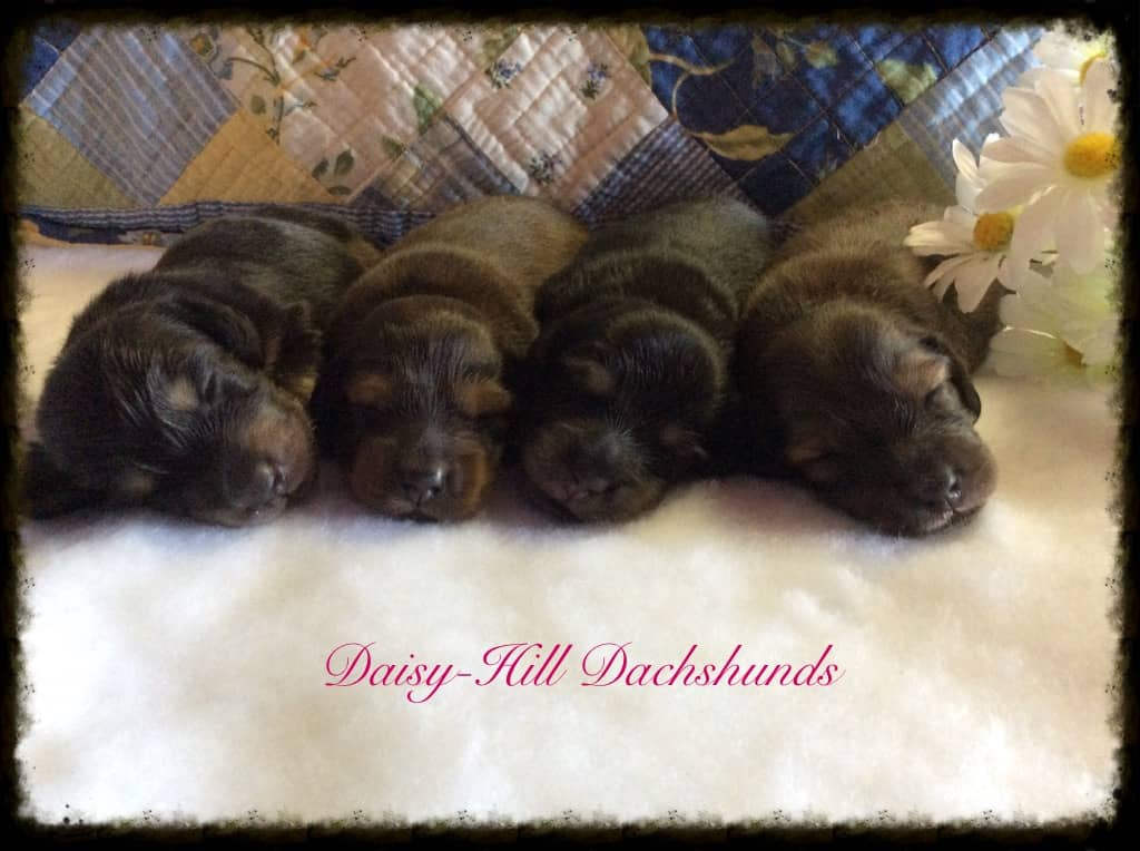 Daisy-Hill Dachshunds