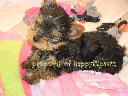Texas Dog Breeders Websites | PuppySites Com