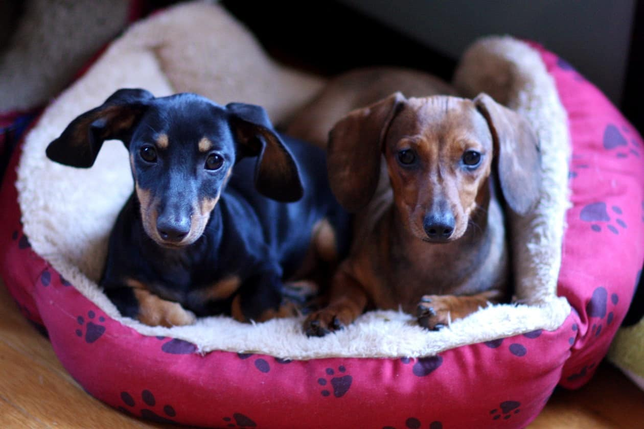 Eastbaydox Dachshunds