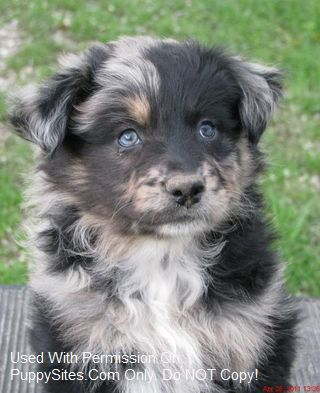 Fairoaks Australian Shepherds