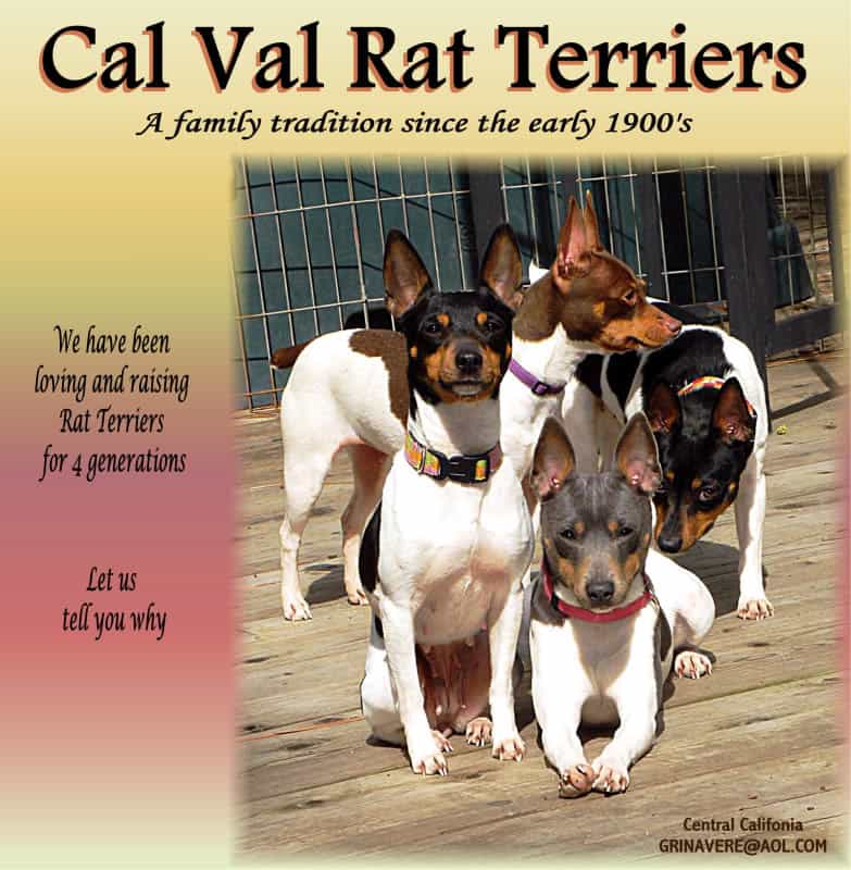 Cal Val Rat Terriers at Gails Rats Nest