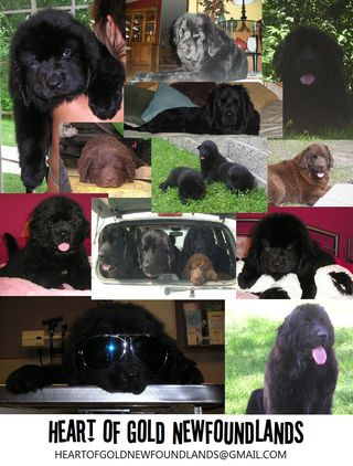 Heart of Gold Newfoundlands