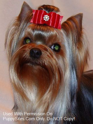 JaLa Yorkshire Terriers