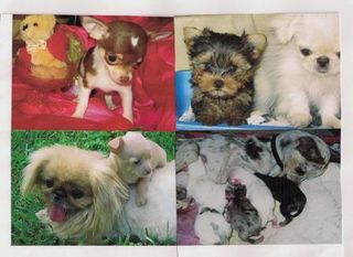 LKLs October Gold Chihuahuas & Pekingese