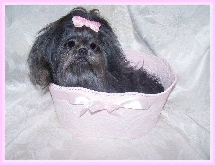 Loves Legacy Shih Tzu