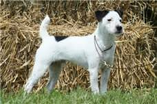 Muscle Russell Jack Russell