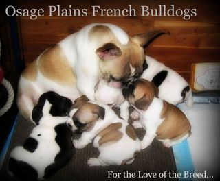 Osage Plains French Bulldogs