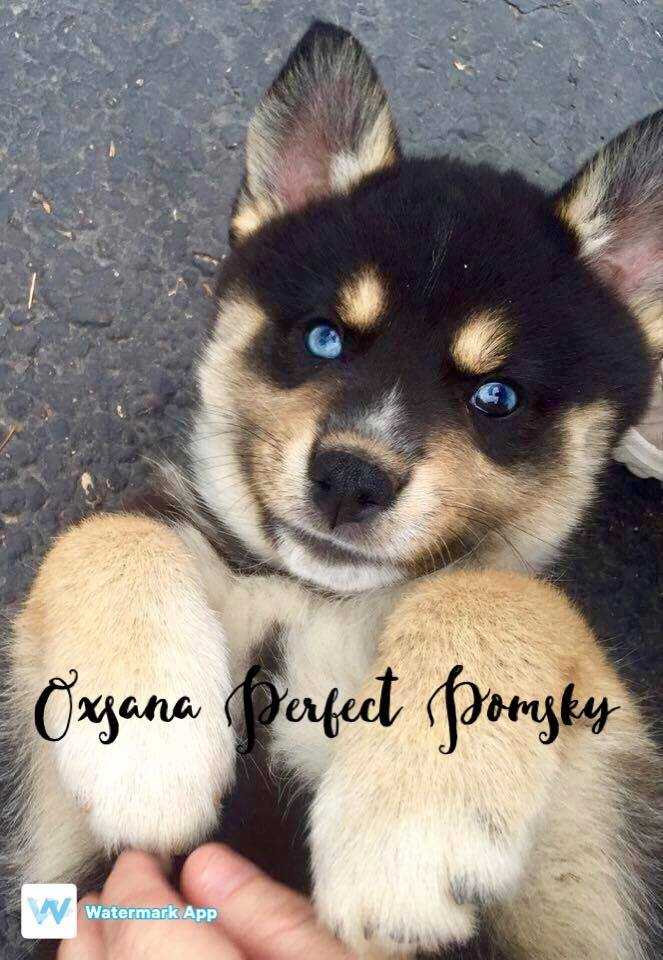 Oxsana Perfect Pomsky
