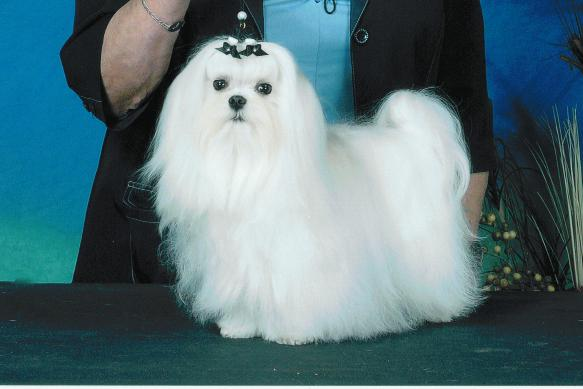 Maltese Dog Breeders Websites Puppysitescom