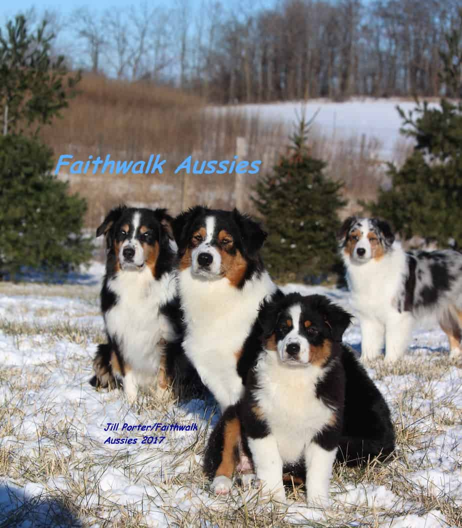 Faithwalk Australian Shepherds