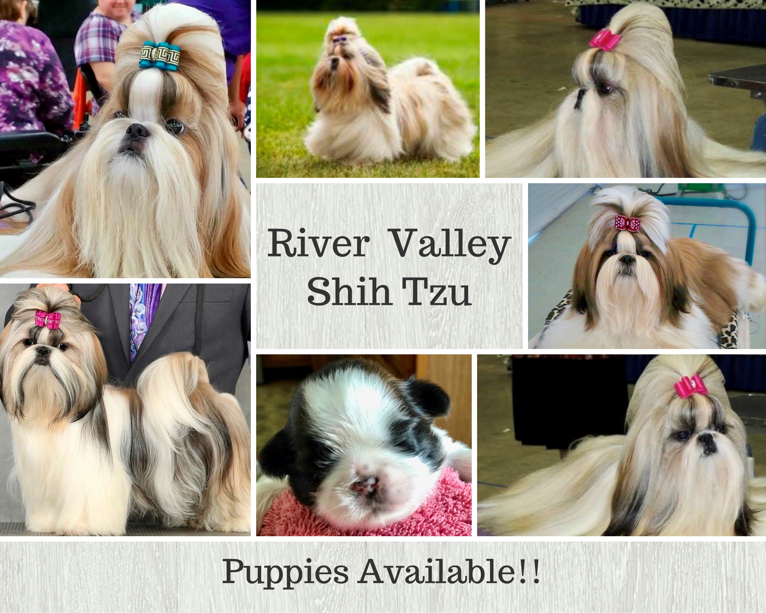 River Valley Shih-Tzu