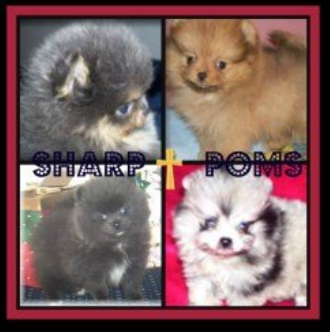 Sharp Poms