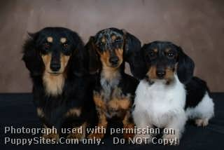 Weatherly's Miniature Dachshunds