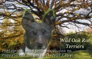 Wild Oak Rat Terriers