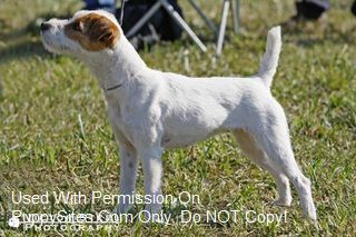 Winslow Farms Jack Russell Terriers